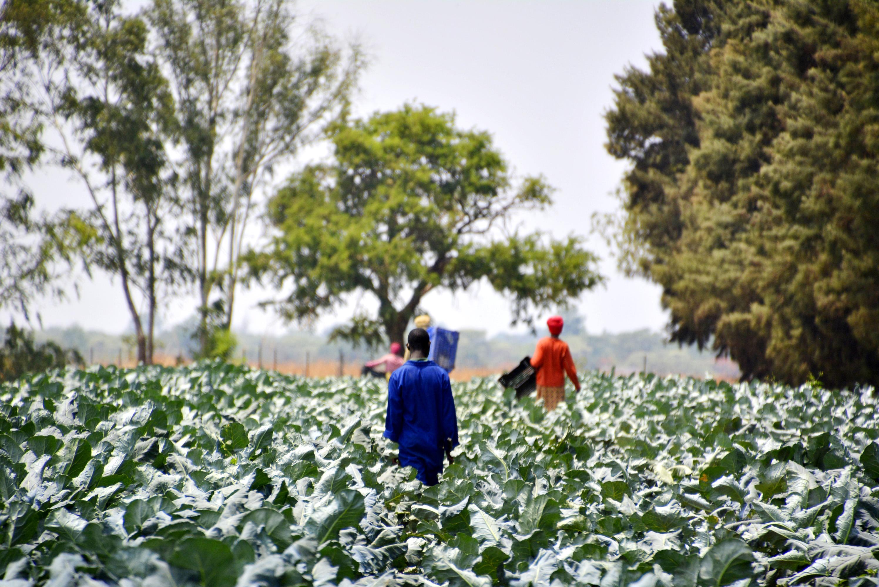 Arbetstagare på plantage i Zambia